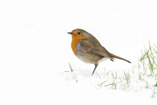 Yet another Robin in the snow