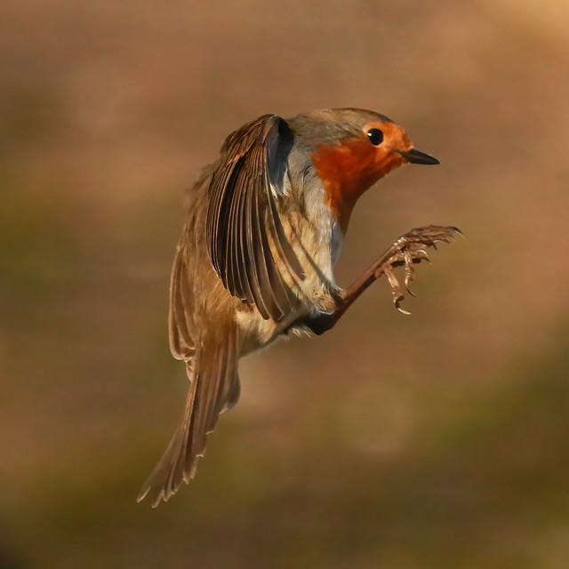 Robin hovering.