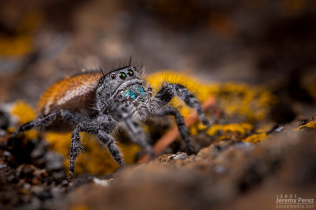 1 January 2020 — Flagstaff, Arizona — Phidippus Jumping Spider on lichen