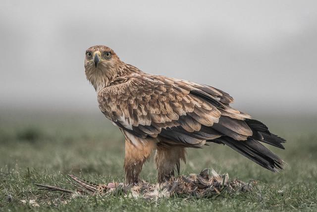 Parlagi sas (Aquila heliaca) ❤️
