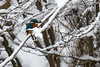 Common Kingfisher (Alcedo atthis) Kungsfiskare