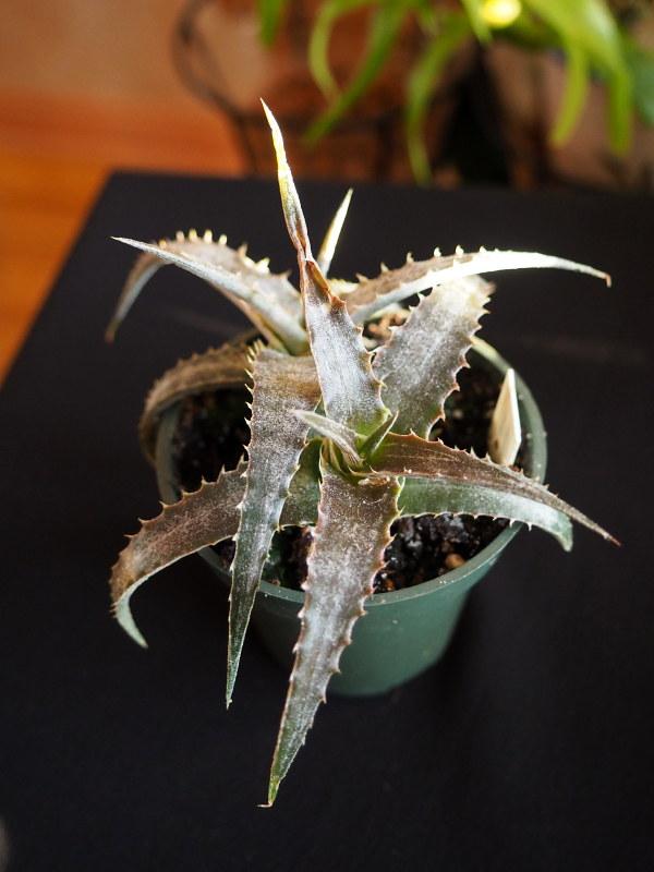 Les succulentes chez Cloo en 2021 50818537251_0677bc45a9_c