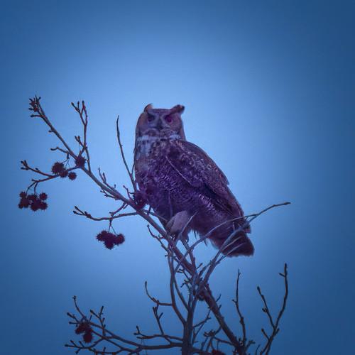 owl bird raptor olympus