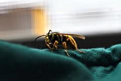 Wasp infiltration