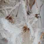 Virgin Bower Seed w/Hoarfrost