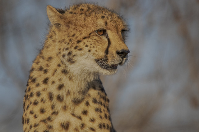 Staring into the distance, a beautiful cheetah. Elephant Plains Game Lodge, Sabi Sands Game Reserve, Kruger National Park, South Africa.