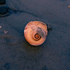 Broken Moon Snail shell lit by the moon