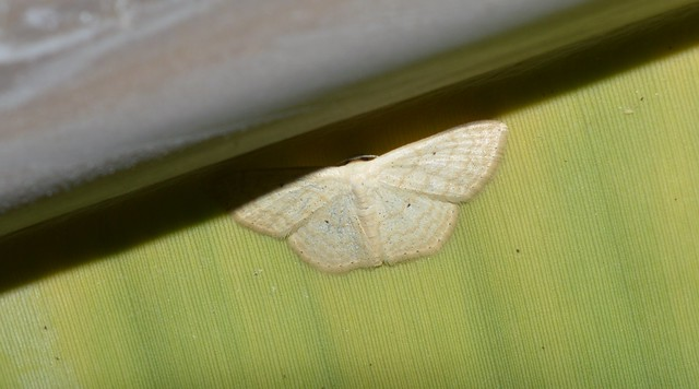 Scopula moth