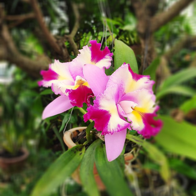 Very rare multicoloured Orchid flower。  多色胡姬花