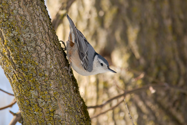 White-breasted Nuthatch | Sitta carolinensis