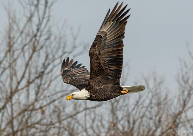 Eagle fishing the river