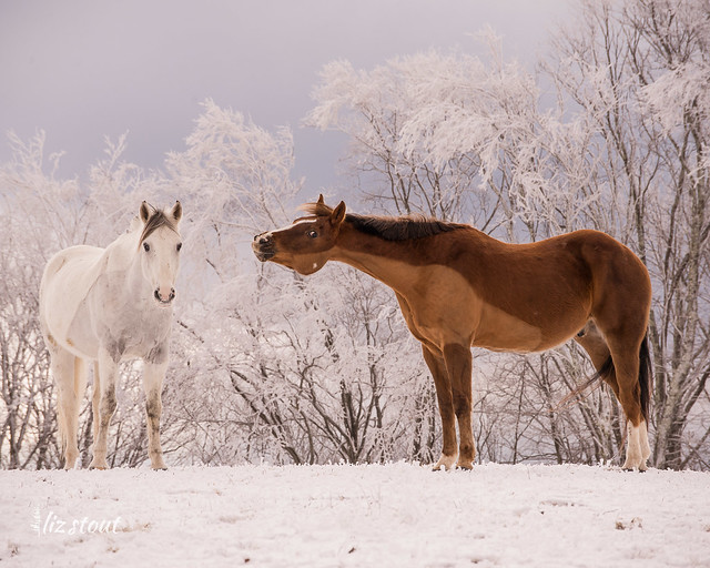 20210109 Horses in Snow and Rime_66