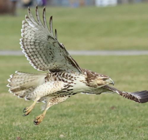 Red-tailed Hawk - Buckland Park - © Jeff Eichner - Jan 02, 2021