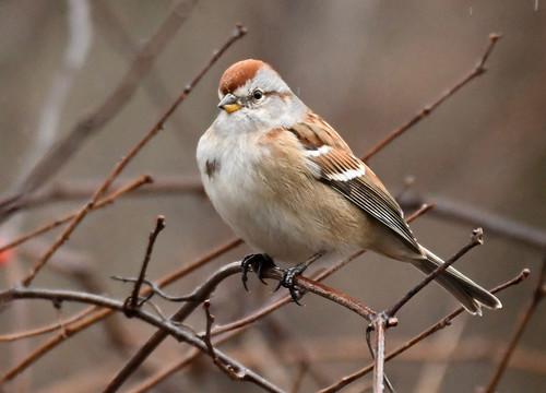 American Tree Sparrow - Mendon Ponds - © Alan Bloom - Jan 03, 2021