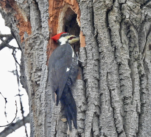 Pileated Woodpecker - Irondequoit Bay Park West - © Candace Giles - Jan 06, 2021