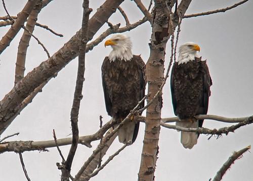 Bald Eagle - Long Pond - © Alan Bloom - Jan 06, 2021
