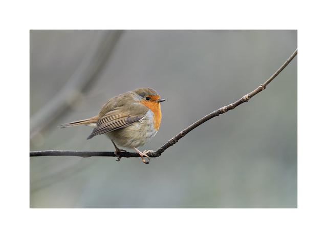 Same foggy morning, same friendly Robin..