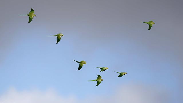 Rose ringed parakeets in flight