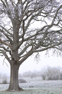 The Mighty Oak and The Roe Deer