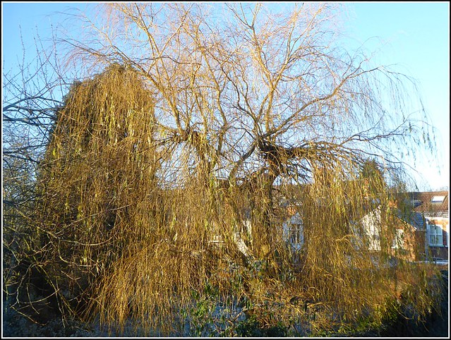 Old Willow Tree..