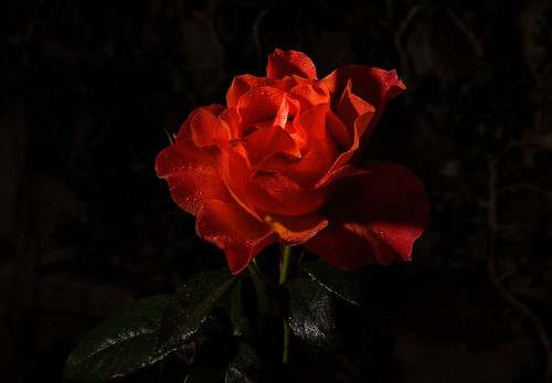 The last rose | by 2slo7