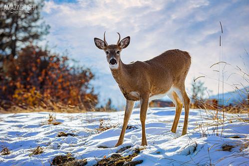 afternoon animals aqua beautiful black blue bright brown colorful deer field gold grass horizontal montana nature orange outdoor outdoors overcast plants snow standing tan thompsonfalls trees white wildlife winter yard unitedstates whitetaildeer buck