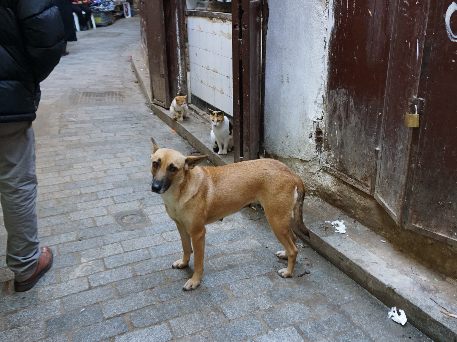 Fes street cats dogs