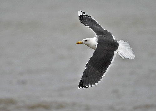 Great Black-backed Gull - Charlotte Beach - © Alan Bloom - Dec 31, 2020