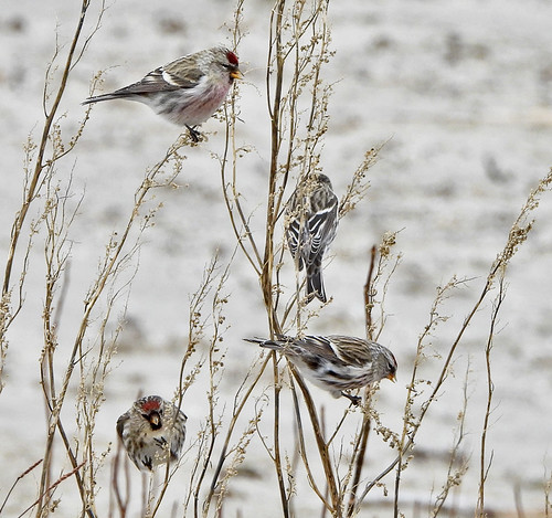Common Redpoll - Braddock Bay East Spit - © Candace Giles - Jan 01, 2021