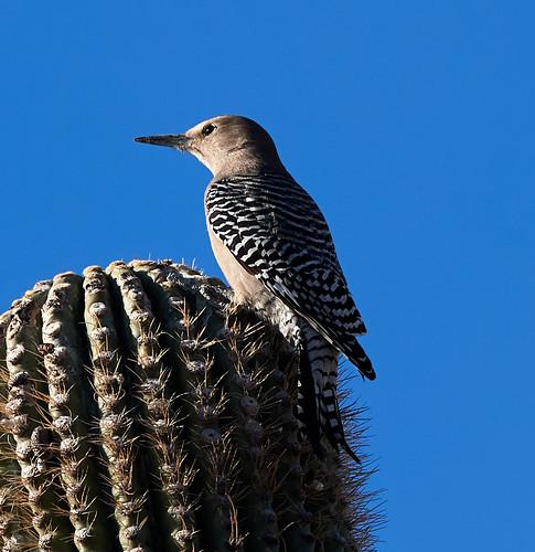 woodpecker woodpeckers bird birds nature gambelsquail phainopepla scenicnature landscapes mountains