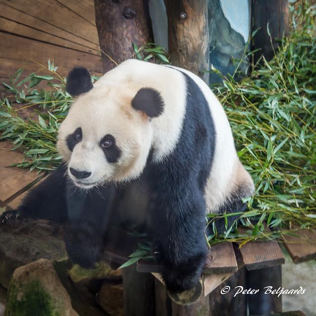 Panda Xing Ya, Ouwehands dierenpark Rhenen