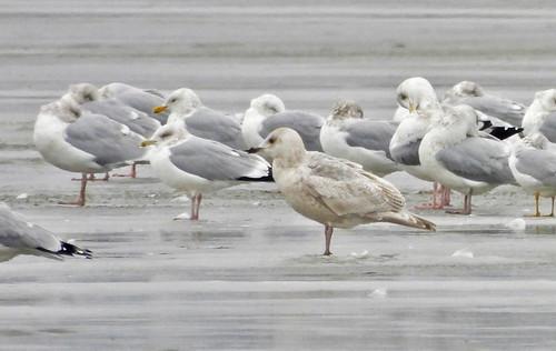 Iceland Gull - Braddock Bay East Spit - © Candace Giles - Jan 01, 2021