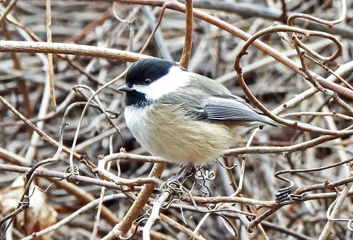 Black-capped Chickadee - Mendon Ponds - © Candace Giles - Jan 04, 2021