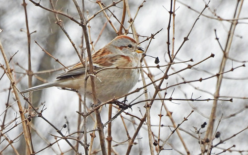American Tree Sparrow - Mendon Ponds - © Candace Giles - Jan 04, 2021