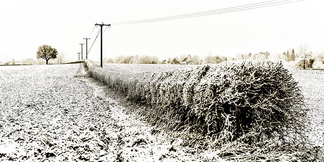 HEDGEROW TREE AND TELEGRAPH POLES