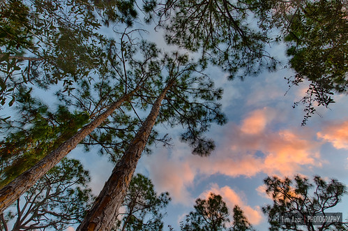 ponderosapine hdr conifer sunrise pine cloudy yellowpine bark sunset flowersplants clouds jeffreypine florida