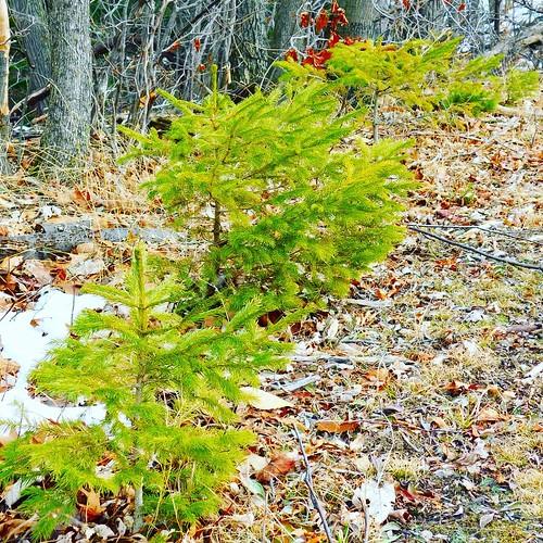Saplings #ChestnutRidge #wny #orchardpark #winter #nature #hiking #trees