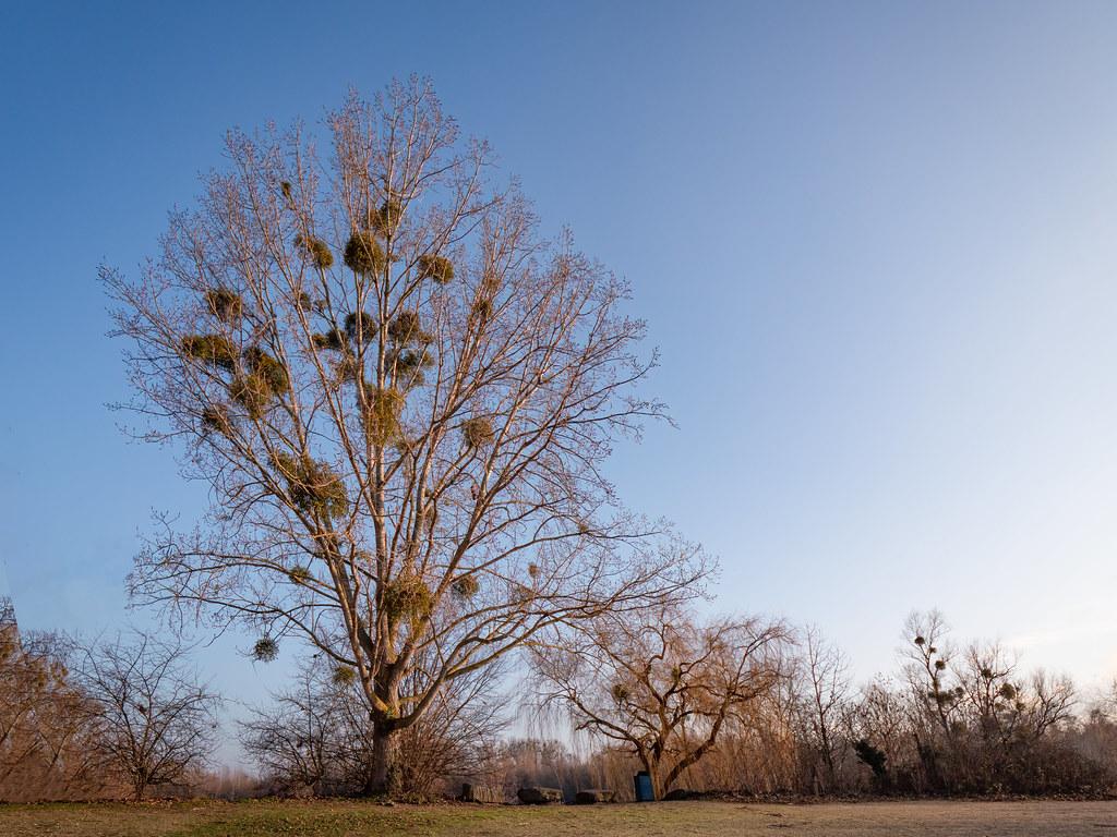 Boules de gui au soleil d'hiver... 50821674706_b85df6a65f_b