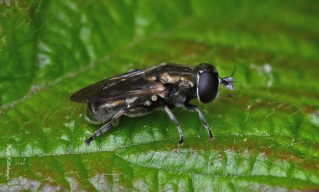 Eumerus species (female)