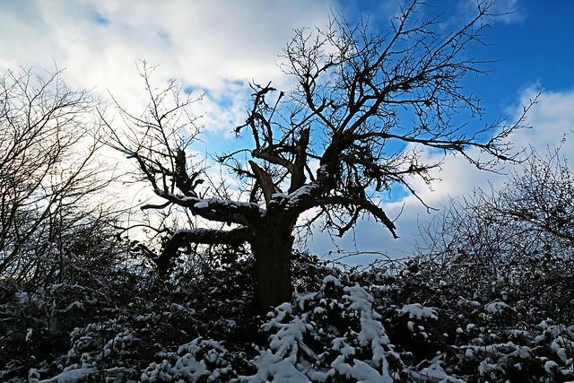 Der alte Baum - The old tree
