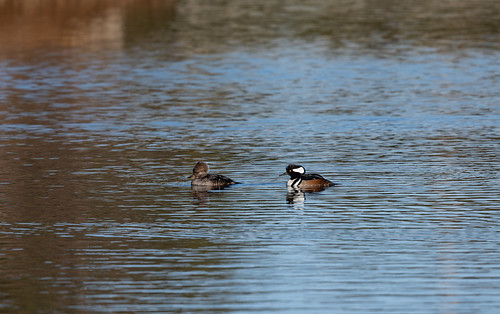 hooded_merganser_pair-20210110-104 | by Dagny Gromer