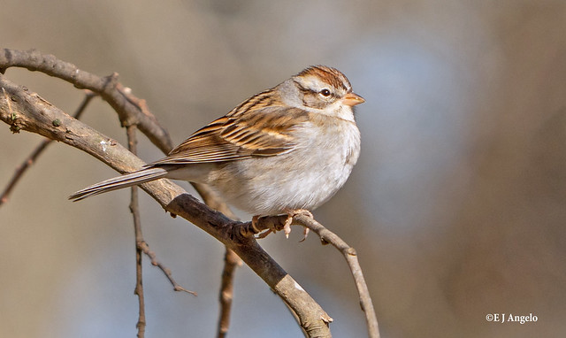 Chipping Sparrow 08492