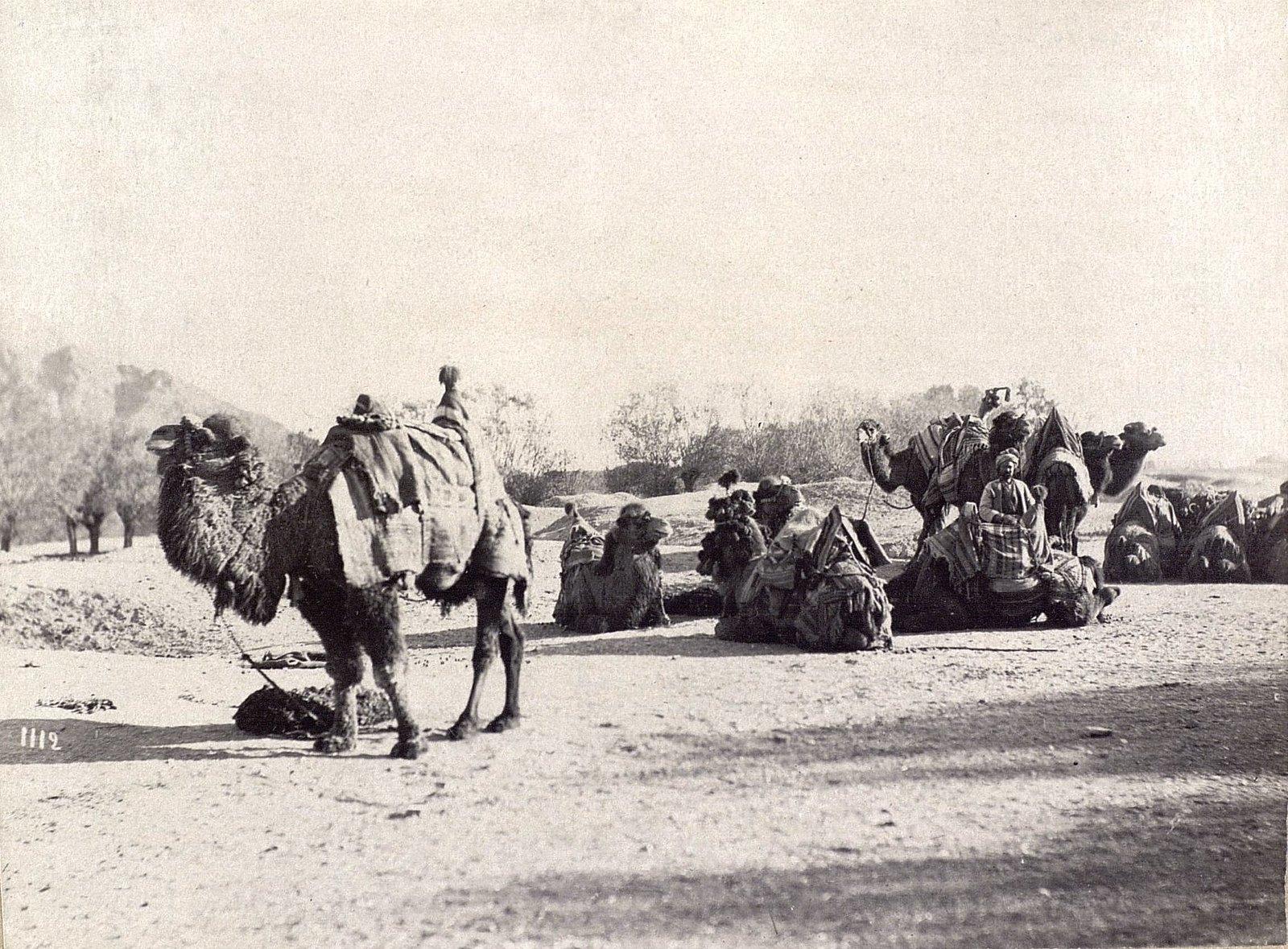 Караван верблюдов на отдыхе
