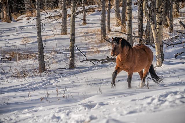 The trotting Alberta Wild Horse
