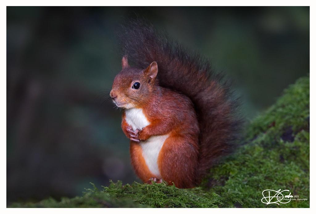DS0D7407-Red-Squirrel,-Sciurus-vulgaris