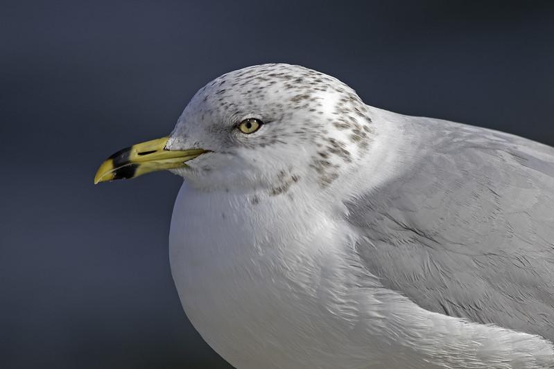 Ring-billed Gull (winter plumage)