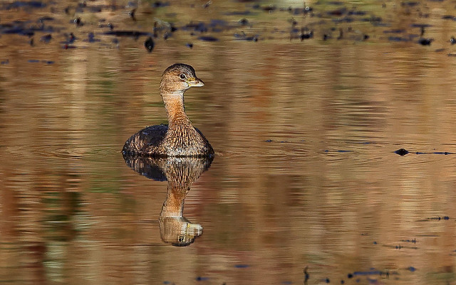 Pied-billed Grebe (in Explore Jan/11/2021)