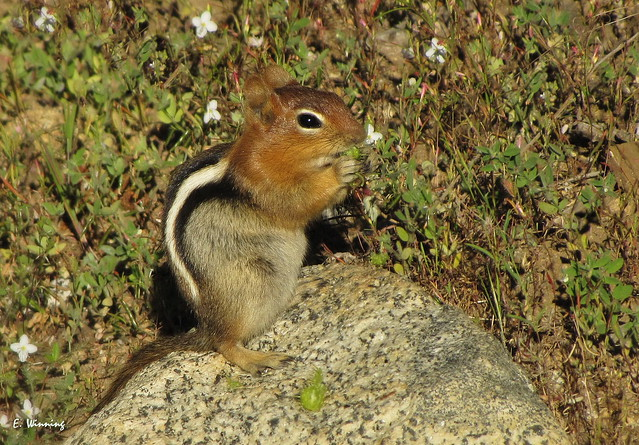 Golden-mantled Ground Squirrel 3473