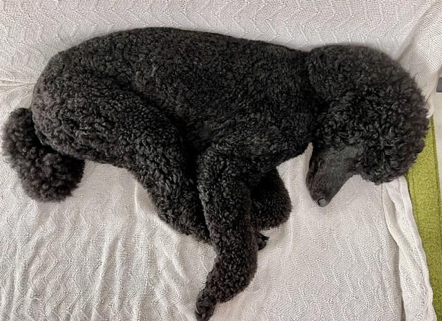 Folded poodle 2/52