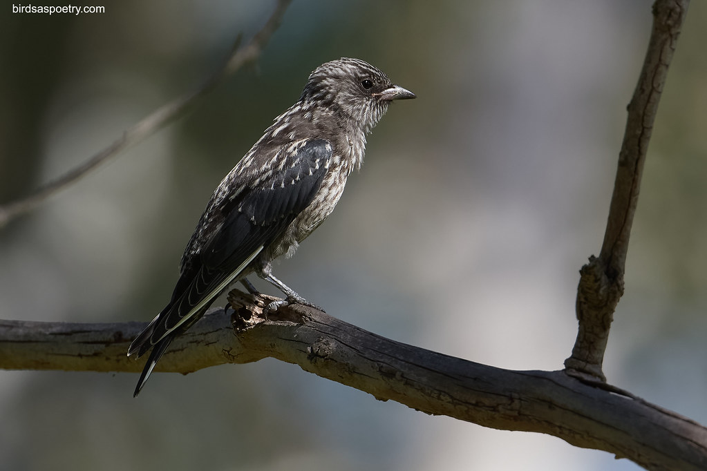 Dusky Woodswallow: All grown up